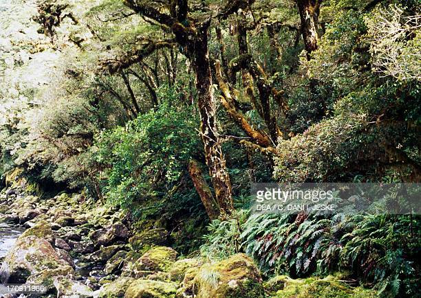 Vegetation on the Cheddau River bank Fiordland National Park Westland National Park South Island New Zealand