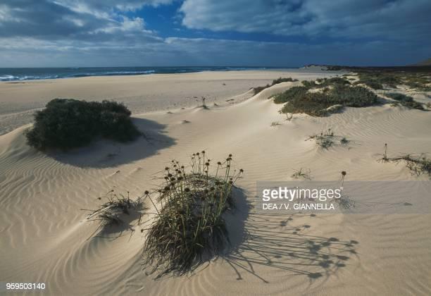Vegetation on the dunes of Varandinha Boa Vista Island Cape Verde