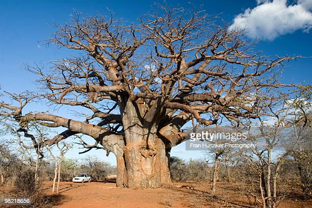 vehicle next to enormous ancient boabab tree, messina, limpopo - limpopo province stock pictures, royalty-free photos & images