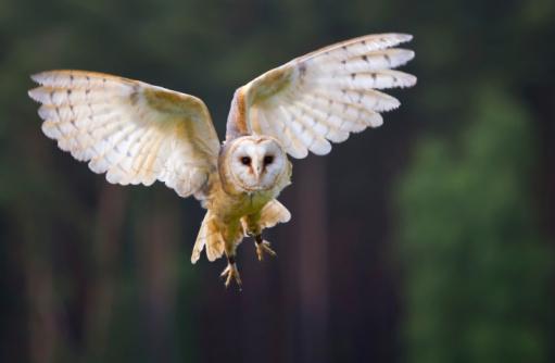 Veil owl in the flight 104660080