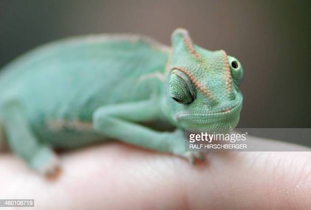 A veiled chameleon also known as Yemen chameleon sits on the finger of a keeper during an animal inventory at the Biosphere Potsdam tropical plants...