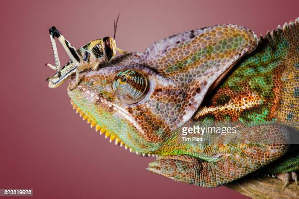 Veiled Chameleon and locust