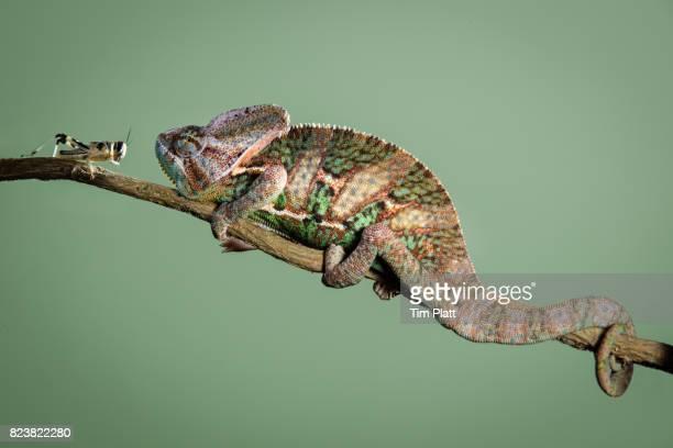 Veiled Chameleon and locust
