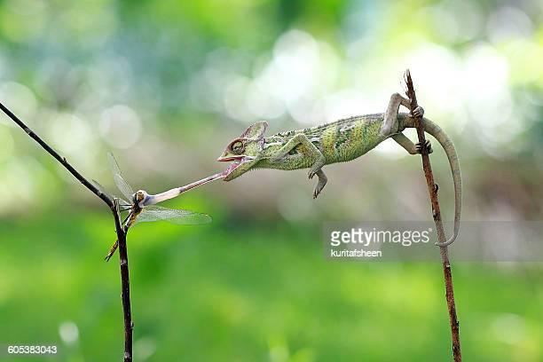 Veiled chameleon (chamaeleo calyptratus) hunting dragonfly