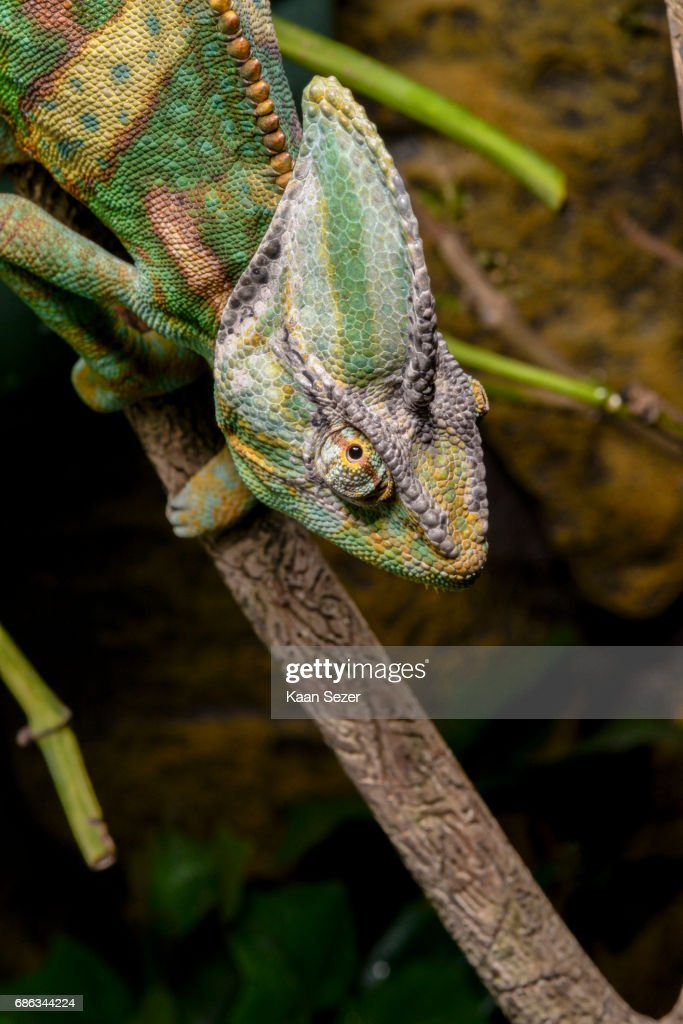 Veiled Chameleon In Terrarium High Res Stock Photo Getty Images