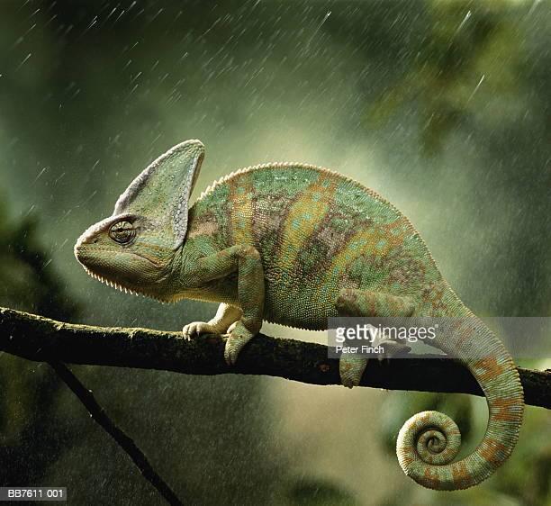 veiled chameleon (chamaeleo calyptratus) on branch during rain - camaleonte foto e immagini stock