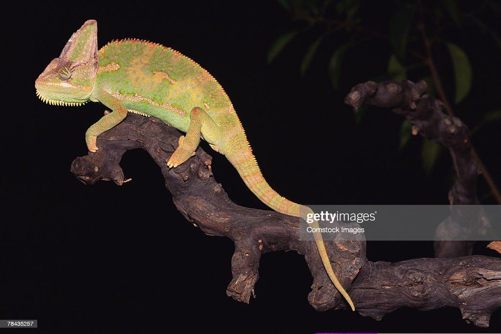 Veiled chameleon on tree branch : Stockfoto