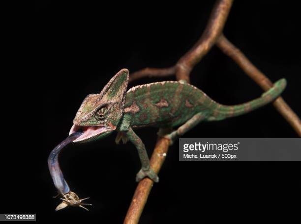 veiled chameleon - squamata stock photos and pictures