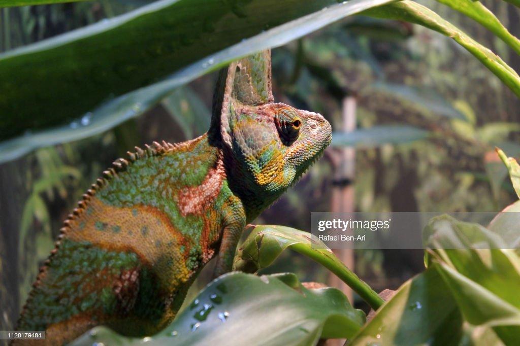 Veiled Chameleon : Stock Photo
