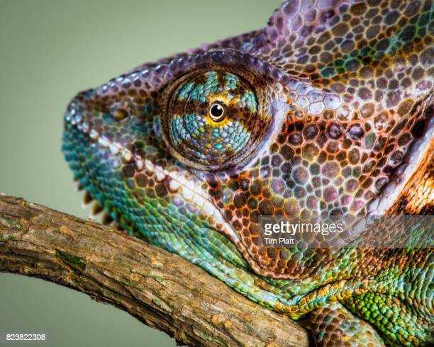 veiled chameleon - animal markings stock pictures, royalty-free photos & images