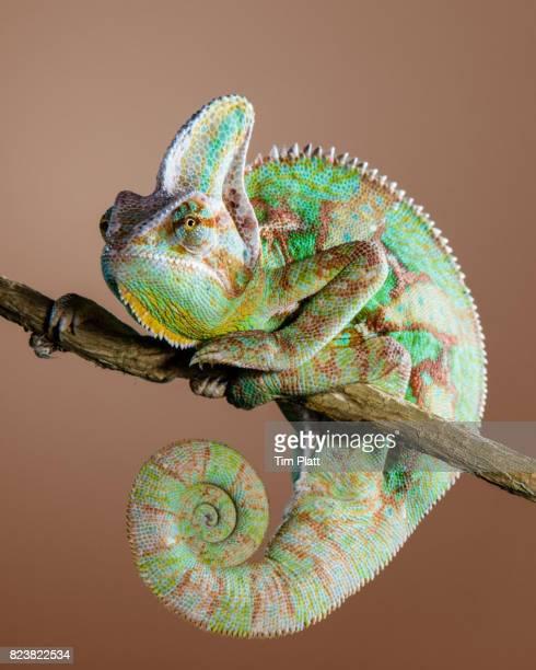 veiled chameleon - camaleonte foto e immagini stock