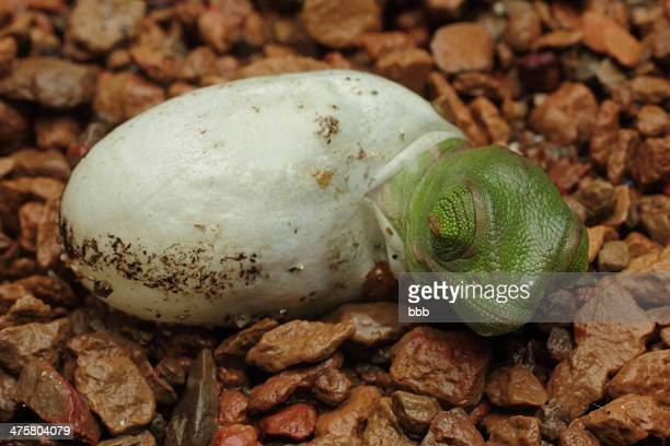 veiled chameleon - time for a nap - hatching stock photos and pictures