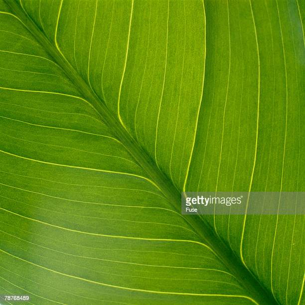 Vein Pattern on a Peace Lily Leaf