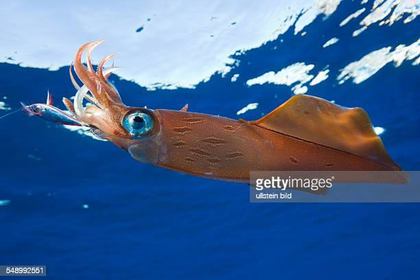 Veined Kalmar on Fish Hook Loligo forbesi Azores Atlantic Ocean Portugal