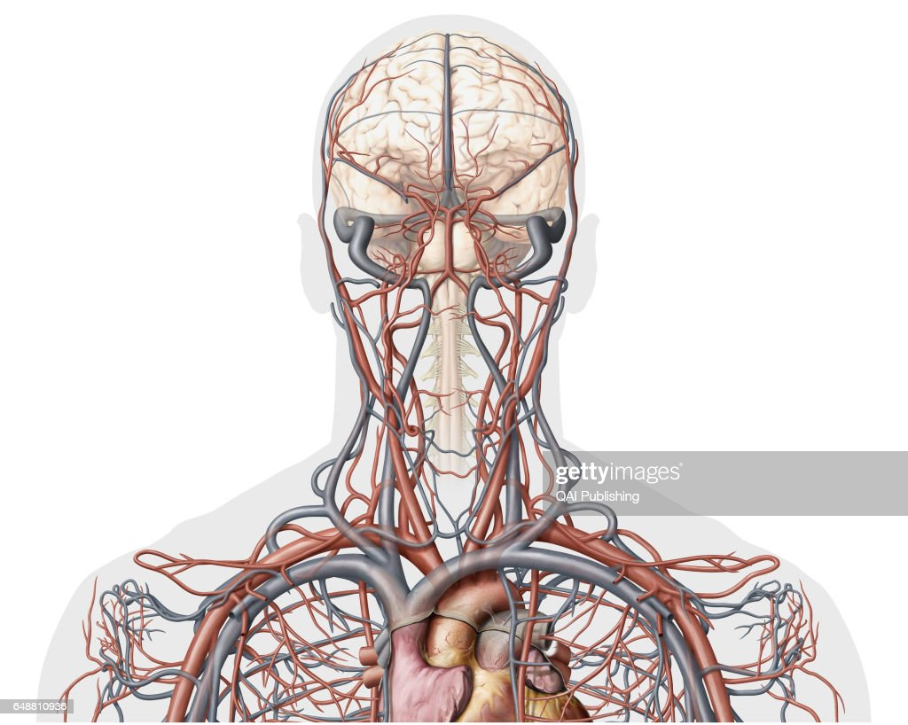 Veins And Arteries Of The Head Anterior View This Image Shows An
