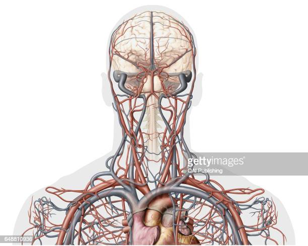 Veins and arteries of the head anterior view This image shows an anterior view of the veins and arteries of the head