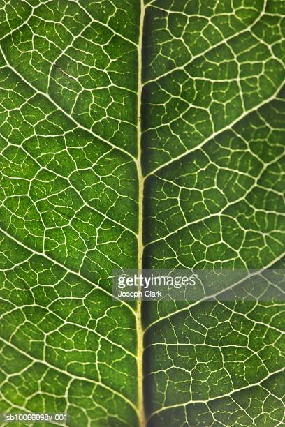veins in lemon tree leaf, close-up - lemon leaf stock photos and pictures