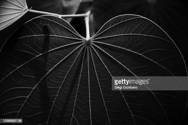 veins of a leaf - black and white nature stock pictures, royalty-free photos & images