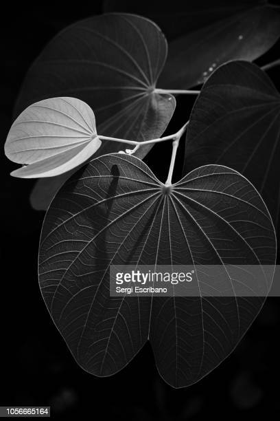 veins of a leaf - botany stock pictures, royalty-free photos & images