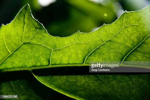 veins of a leaf - photosynthesis stock photos and pictures