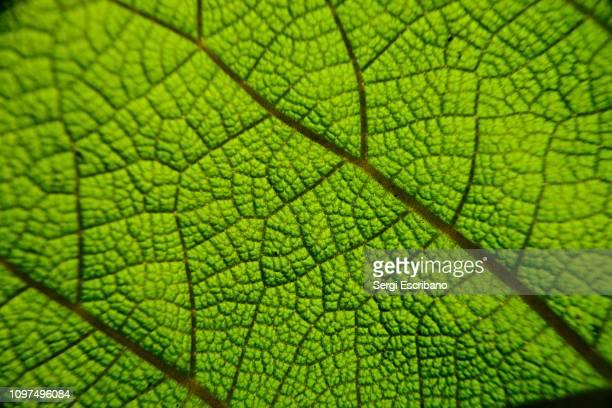 veins of a leaf - bladnerf stockfoto's en -beelden