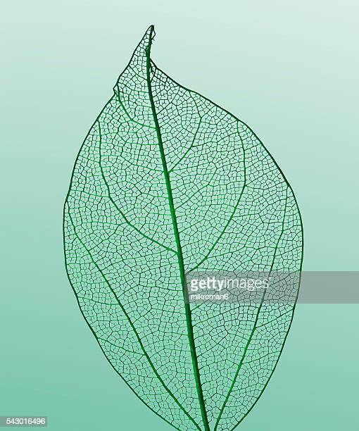 Veiny green leaf