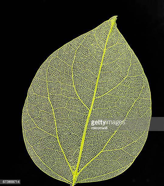 Veiny yellow leaf.