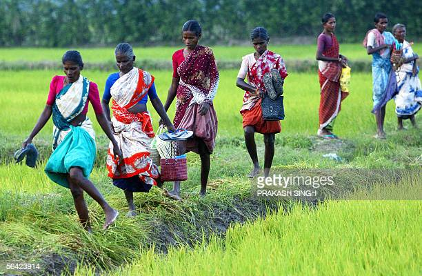 TO GO WITH WTOINDIATRADE In this picture taken 01 December 2005 Indian women labourers walk back home after a day of work in a paddy field near...