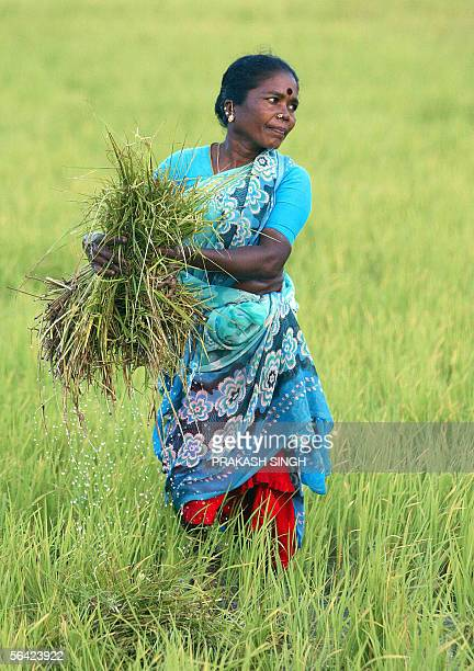 TO GO WITH WTOINDIATRADE In this picture taken 01 December 2005 an Indian woman labourer works in a paddy field near Velankanni in the Nagapattinam...