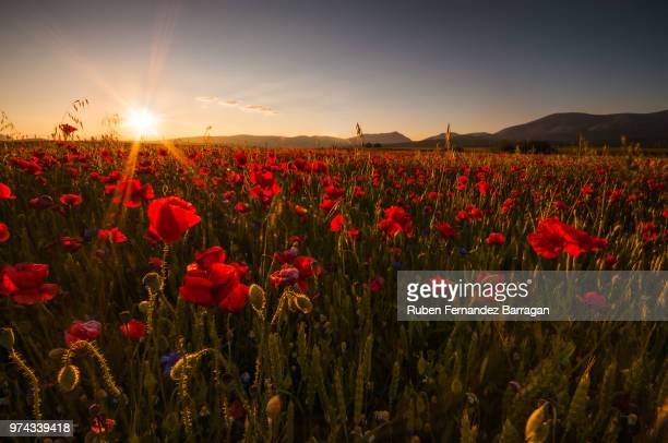 velos a contraluz - poppy field stock photos and pictures