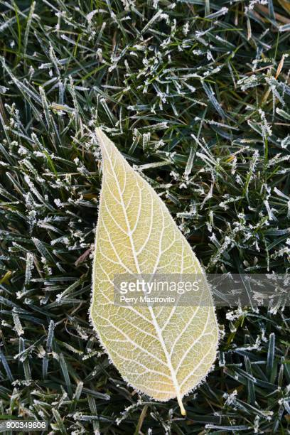 Velvet Ash tree (Fraxinus velutina), leaf covered with early morning frost on green grass in autumn, Canada