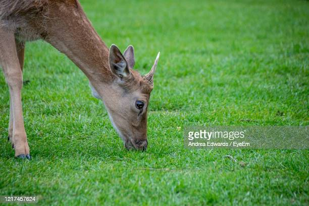 velvet covering as new antlers grow on young fallow deer - young animal stock pictures, royalty-free photos & images