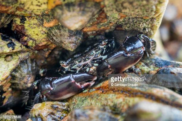 velvet crab protected on a rock crack - limpet stock pictures, royalty-free photos & images