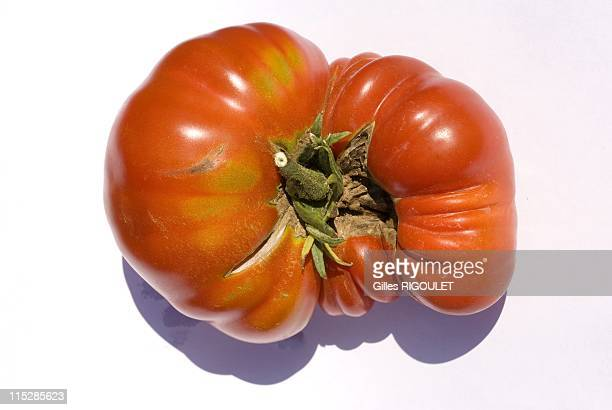 Velvet heart tomato on August 2009 in Conservatory of Tomato, Castle de la Bourdaisiere, Montlouis sur Loire, France. Conservatory of Tomato Grows...