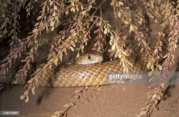 60 Top Eastern Brown Snake Pictures, Photos and Images