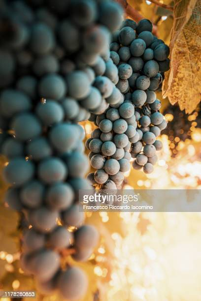 vendemmia, grape ready for harvest in italy - モデナ ストックフォトと画像