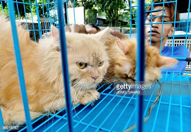 A vendor puts cats inside a cage at his roadside pet stall in Jakarta 27 October 2005 Indonesia's human bird flu outbreak is puzzling experts because...