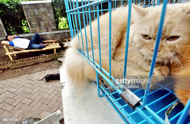 A vendor rests displaying his collection of cats for sale at a street in Jakarta 27 October 2005 Indonesia's human bird flu outbreak is puzzling...