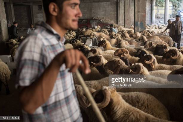 A vendor watches over sacrificial sheep for sale at an animal market during celebrations to mark the EidalAdha feast on August 31 2017 in Gaziantep...