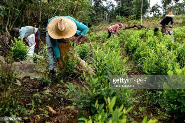 Venezuelan migrants working as Raspachines works at a coca plantation in the Catatumbo region Norte de Santander Department in Colombia on February 9...