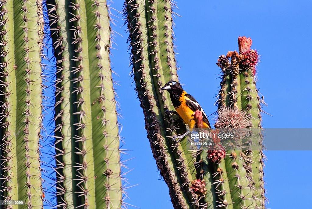 Venezuelan troupial (icterus icterus) in a cactus : Stockfoto