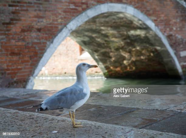 A European Herring Gull, Larus Argentatus, sitting by a bridge and canal at sunrise.