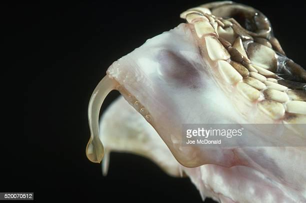 venom on the fang of a diamondback rattlesnake - eastern diamondback rattlesnake stock pictures, royalty-free photos & images