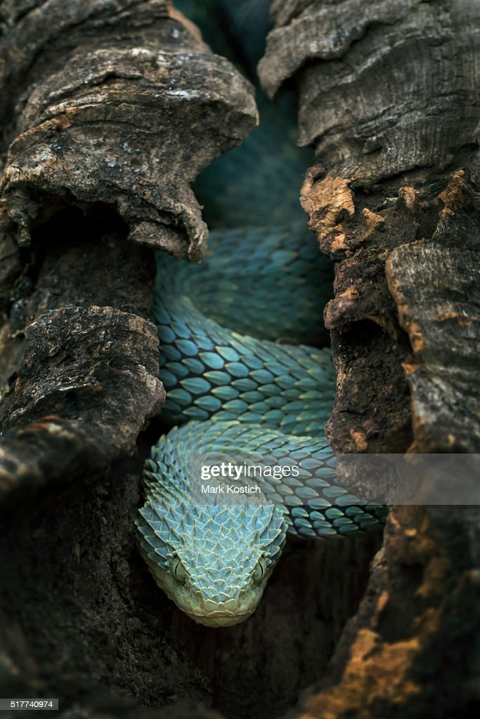 Venomous Bush Viper Snake Creeping in Hollow Tree : Stock Photo
