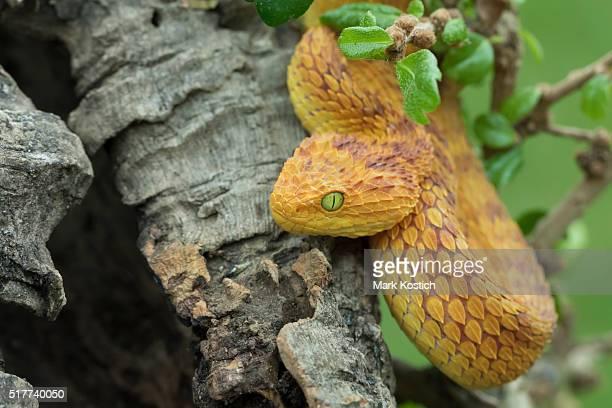 Venomous Bush Viper Snake in Tree
