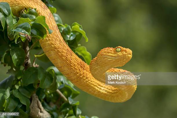 Venomous Bush Viper Snake - Orange Phase