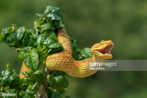 venomous bush viper snake showing aggression - snake stock pictures, royalty-free photos & images