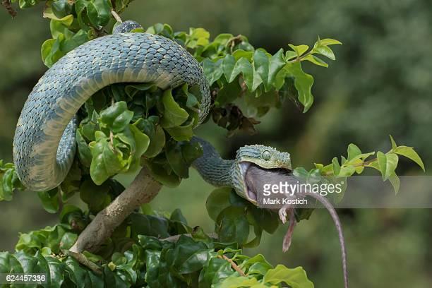 Venomous Bush Viper Snake Swallowing Rodent