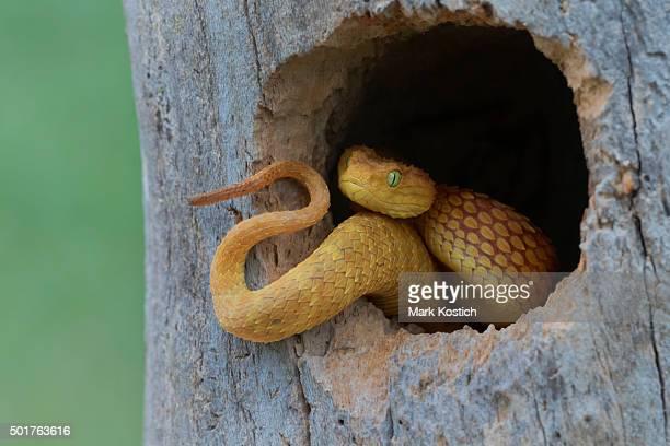 Venomous Bush Viper Snake (Atheris squamigera) taking over bird nest.