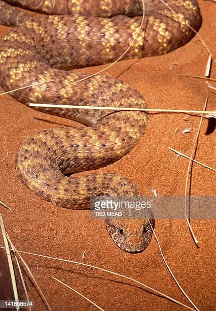 A venomous Desert Death Adder ( Acanthophis pyrrhus ) in the Central Australian desert.